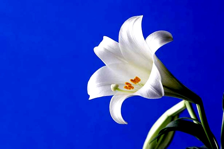 easterlilies.jpeg.size-custom-crop.1086x0