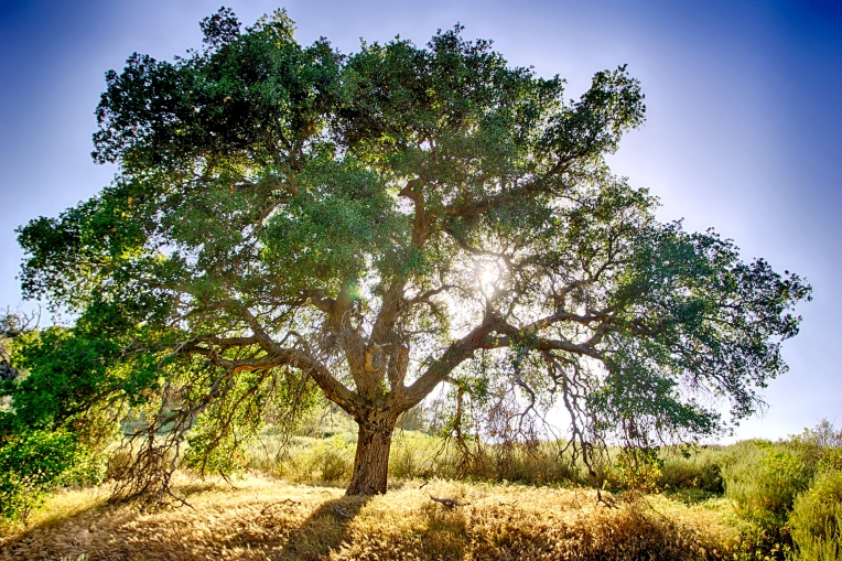 oak-tree-and-sun